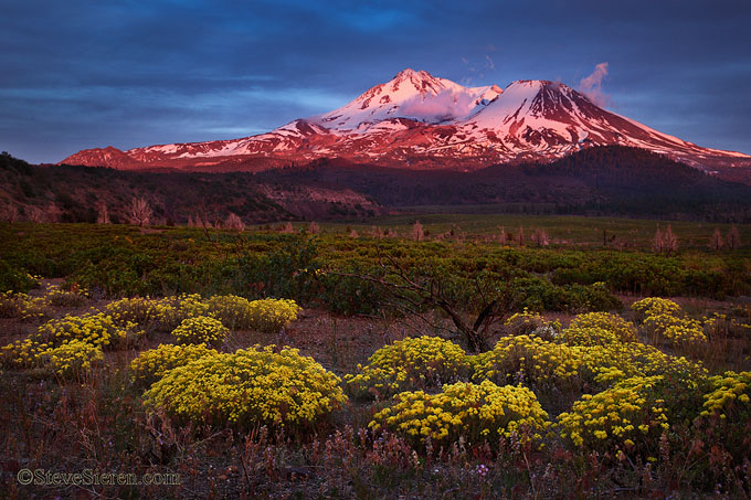 Wildflowers bloom under Mt Shasta in a wild fire recovery area.