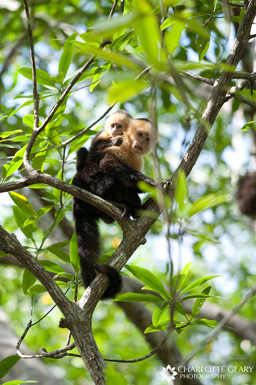 Capuchin monkey mother and baby