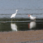 Little Blue Heron and Caspian Tern