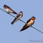 Bank Swallows and Barn Swallow