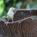 Albino House Sparrow?