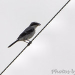 Loggerhead Shrike • Peruque Creek Road St. Charles County
