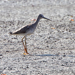 Greater Yellowlegs • Dalbow Road St. Charles County