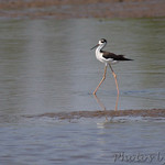 Black-necked Stilt • Hwy B St. Charles County