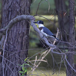 Belted Kingfisher • Columbia Bottom Conservation Area
