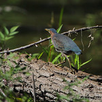 Green Heron • Columbia Bottom Conservation Area