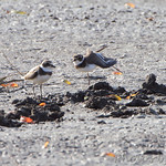 Semiplamated Plover • Dalbow Road St. Charles County