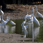 Egrets and Herons • Columbia Bottom Conservation Area