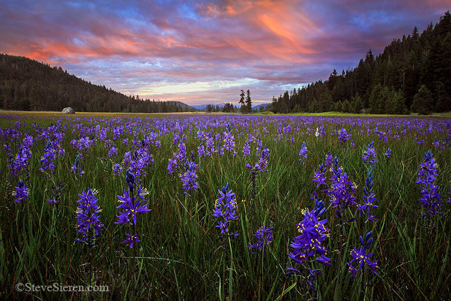 Wild mountain lillies bloom in an open meadow in Northern California's Cascade Range.