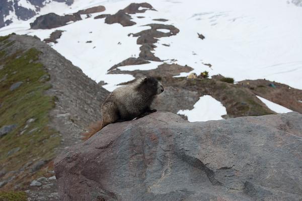 oh look, a marmot