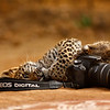 Wild leopard cub playing with a Canon camera in Ranthambore tiger reserve