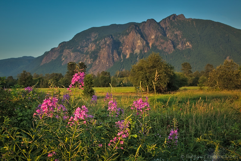 Fireweed blooming in front of Mount Si