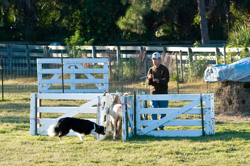 #400 - Laddie, a Border Collie, qualified on the HRD I course.  He is owned by Joanne Gamba.