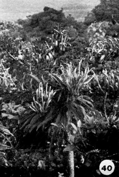 40. Trematolobelia macrostachys Image from the Kaala Bog Plant Guide: Kaala Natural Area Reserve, Mt. Kaala, Oahu, a 1992 publication of the State of Hawaii (DLNR/DOFAW) .