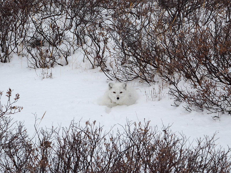 Arctic Fox on the tundra