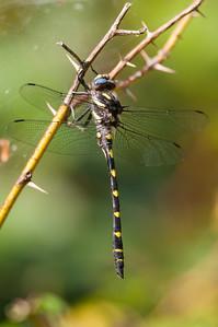 Spiketails
