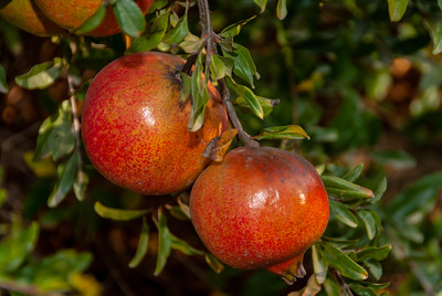 Utah Sweet Pomegranates  (Punica granatum sp.)