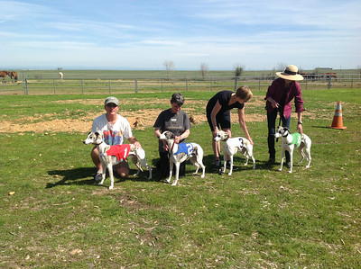 Whippets & Sighthounds