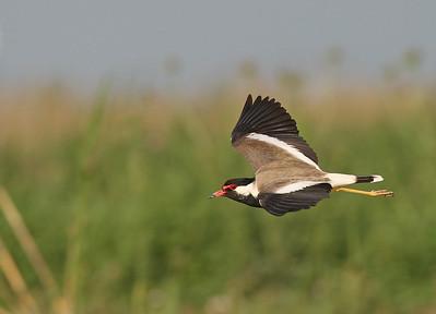 Kenttähyyppä (Vanellus indicus)