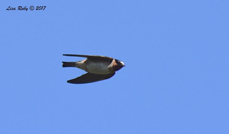 Cliff Swallow - 6/14/2017 - Lake Hodges Bernardo Bay Trail
