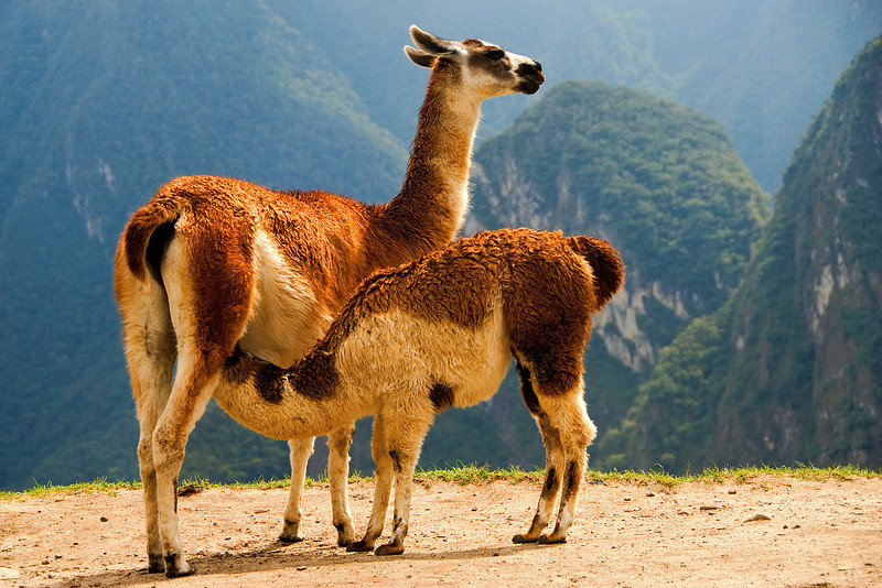 mother and child (llama)