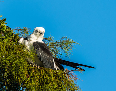 Where The Swallow-Tailed Kites Roost