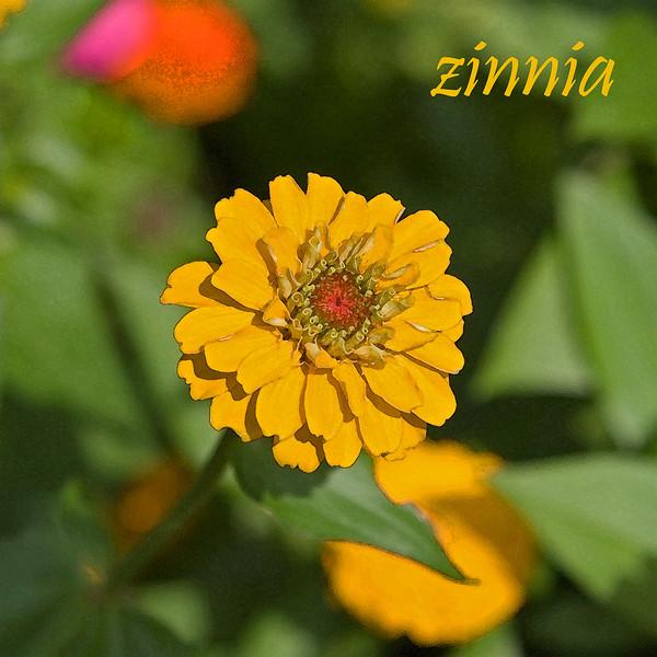 Zinnia 03