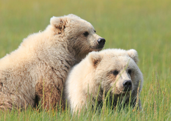 Brown Bear Tweens Alaska 2012