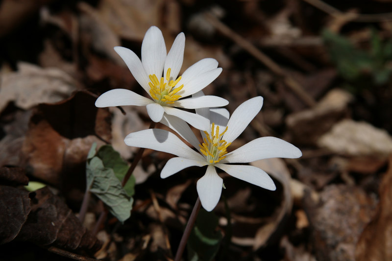 sanguinaria large.jpg