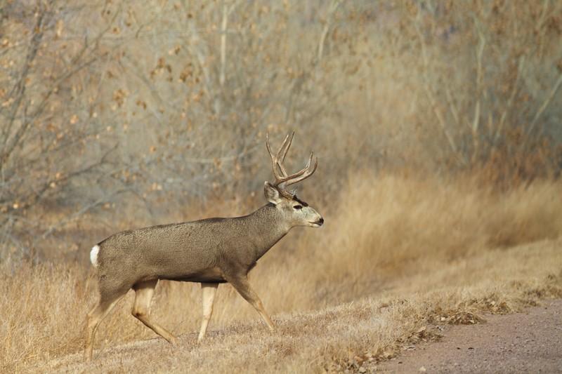Mule Deer buck Bosque del Apache NWR Socorro NM IMG_0007512.dng.jpg