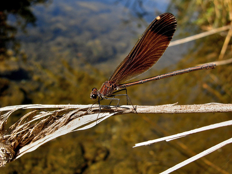 Copper Demoiselle, Camargue 2009 ak