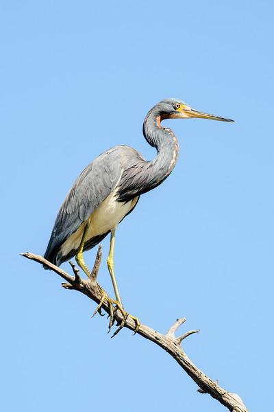 Heron -Tri-colored - Egans Creek Greenway - Amelia Island, FL