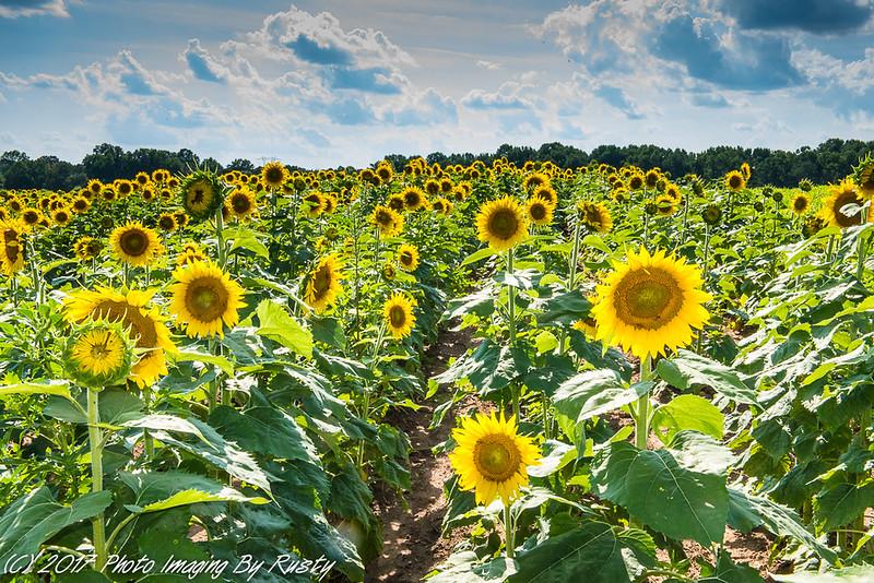 Sun Flowers-1.JPG