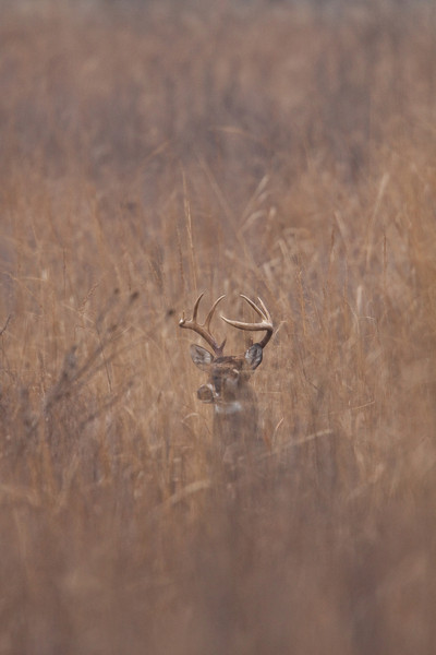 White-tailed buck in tall cover.