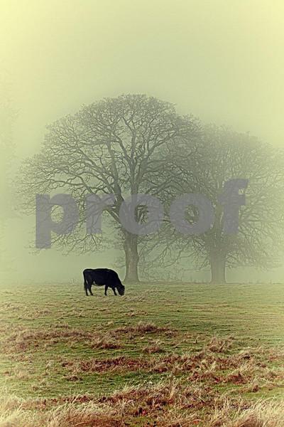 Oak & cow 4249_HDR.jpg