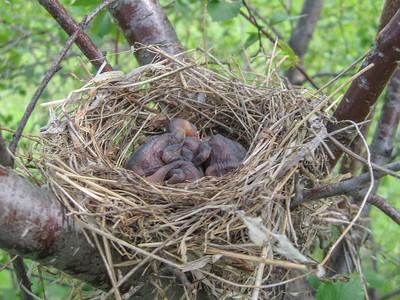 5 2013 May 28 Cedar Waxwing Family