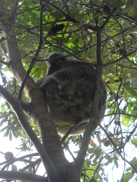 We saw koalas in the trees! And stacks of brush turkeys.