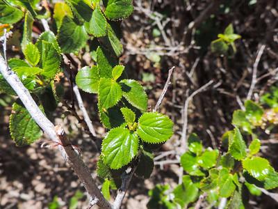 Ramona Lilac (Ceanothus tomentosus)
