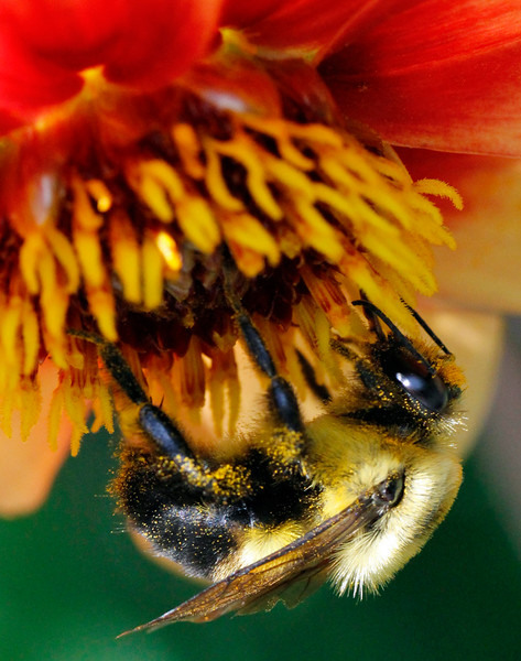 Bumble bee 9