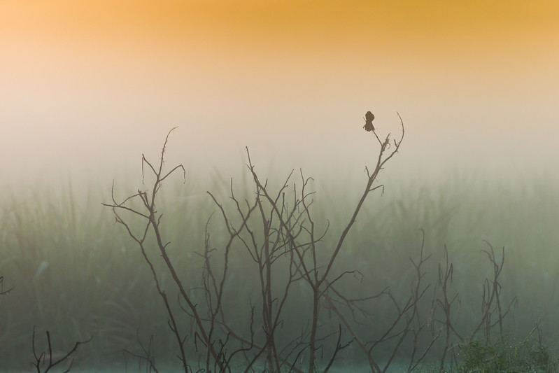 A red winged blackbird is silhoutted against a foggy background as seen from a sugar cane field in South Bay, Florida on Thursday, June 23, 2016.  (Joseph Forzano / The Palm Beach Post)