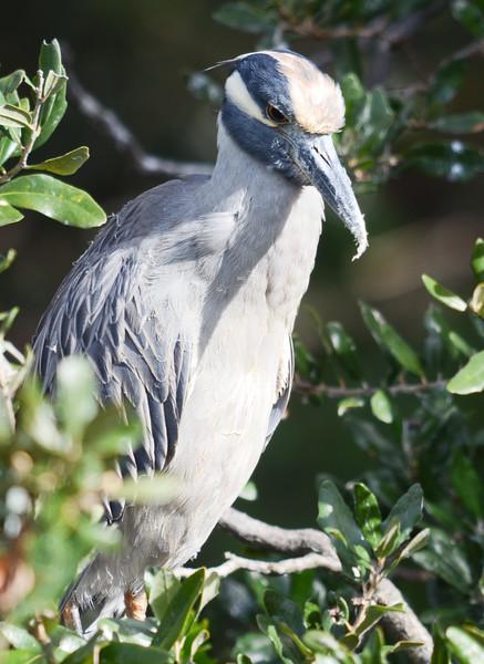 ryle-lenzi-irwin-st-augustine-alligator-farm-yellow-crowned-night-heron.jpg