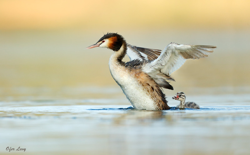 Great-crested Grebe 10.jpg