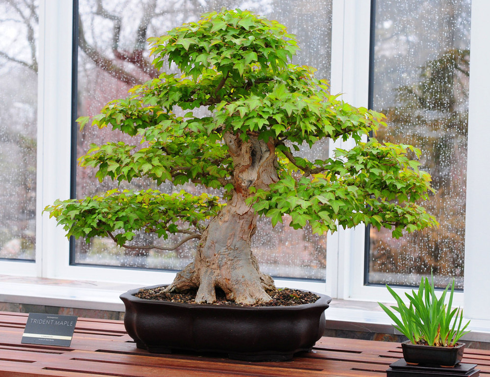 . A trident maple bonsai tree is on display in the new building and landscape addition at the Ordway Gardens. (Pioneer Press: Scott Takushi)