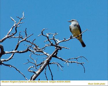 WesternKingbird26205.jpg