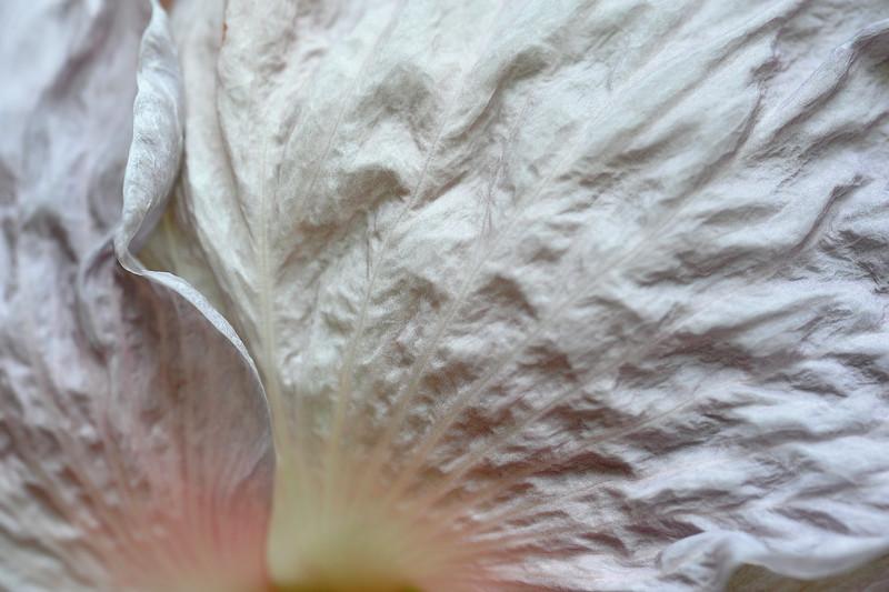 Hibiscus Grapette