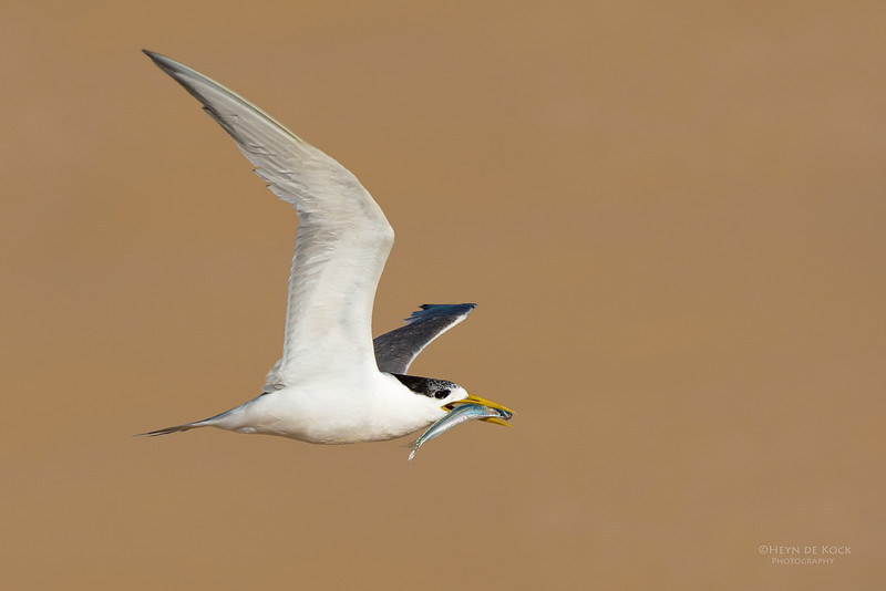 Crested Tern, Lake Wollumboola, NSW, Jan 2015.jpg