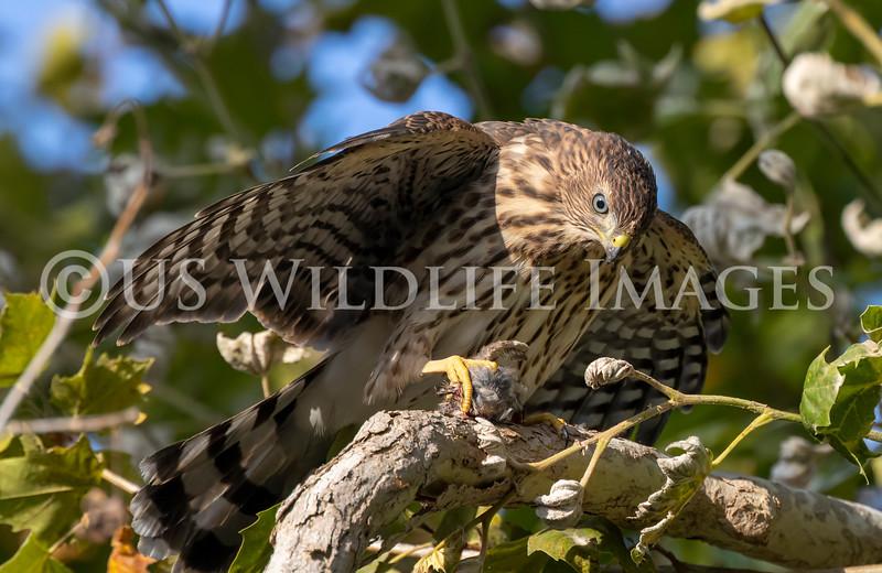 Coopers_Hawk_with_Bird_AL3I9245.jpg