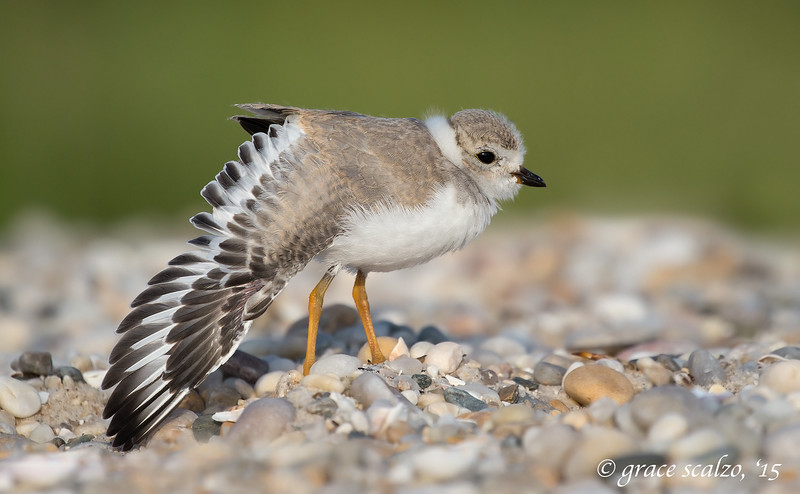 Piping Plover Wing stretch