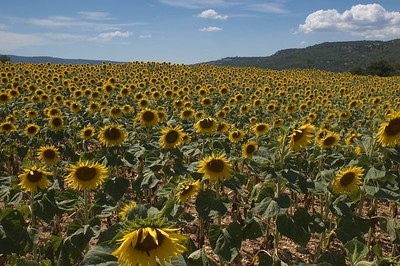 sunflower field in the petit luberon, province, france