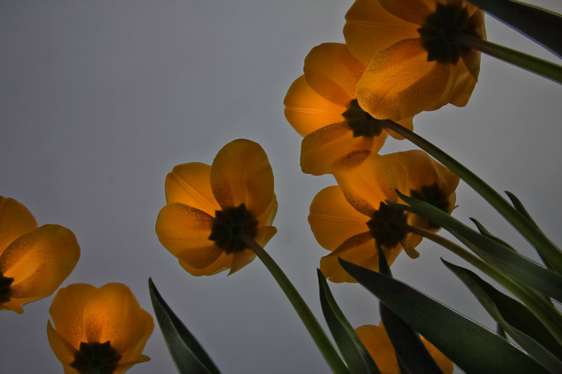 apr 18 - tulips.jpg